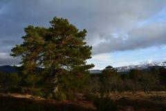 Schottische Kiefer im Nationalpark Cairngormss Lizenzfreie Stockfotos