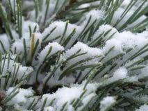 Schottische Kiefer mit Schnee lizenzfreies stockbild