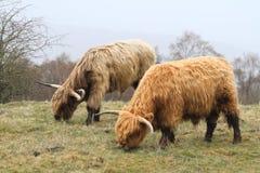 Schottische Paare des Hochlandviehs mit großen Hörnern Stockfotografie