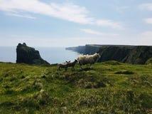 Schottische Schafe lizenzfreies stockbild