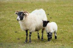 Schottische Schafinsel von Mull Schottland Großbritannien mit Hörnern und den weißen und schwarzen Beinen Lizenzfreie Stockfotos
