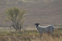 Schottische schwarze gegenübergestellte Schafe, die mit Hintergrund, Porträts weiden lassen Stockbild