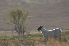 Schottische schwarze gegenübergestellte Schafe, die mit Hintergrund, Porträts weiden lassen Stockbilder