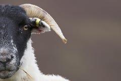 Schottische schwarze gegenübergestellte Schafe, die mit Hintergrund, Porträts weiden lassen Lizenzfreie Stockbilder