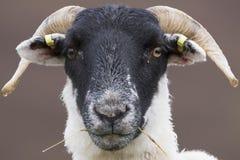 Schottische schwarze gegenübergestellte Schafe, die mit Hintergrund, Porträts weiden lassen Lizenzfreie Stockfotografie