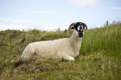 Schottische schwarze gegenübergestellte Schafe Lizenzfreies Stockbild