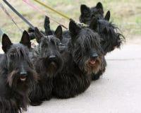 Schottische Terrierfamilie Stockfoto