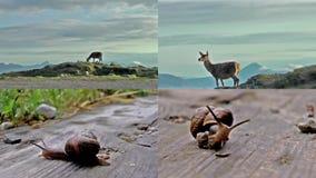 Schottische wild lebende Tiere des Rotwilds und der Schnecken stock video footage