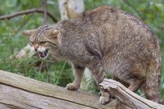 Schottische Wildkatze auf einem Baumstumpf Lizenzfreies Stockfoto