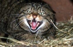 Schottische Wildkatze, Felis silvestris Lizenzfreies Stockbild