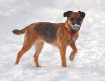 Schottischer Boder Terrier im Schnee Stockbilder