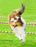 Schottischer Collie, der in Beweglichkeits-Konkurrenz springt Stockbild