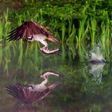 Schottischer Fischadler mit einem Fisch, Reflexion und Wasser spritzt Stockfotografie