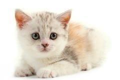 Schottischer gerader Brutjunge Pussycat. stockbild