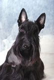 Schottischer Terrier 06 stockbilder