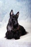 Schottischer Terrier 07 lizenzfreie stockbilder