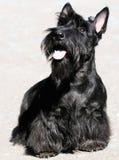 Schottischer Terrier Lizenzfreie Stockbilder