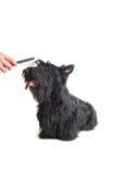 Schottischer Terrier Lizenzfreies Stockfoto