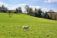 Schottisches Ackerland im Frühjahr, in der Weide und in den Schafen stockbild