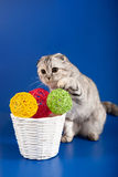 Schottisches gerades Kätzchen Stockfotos