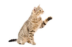 Schottisches gerades Sitzen der spielerischen Katze mit der angehobenen Tatze Stockbild
