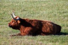 Schottisches Hochland, das im hohen Gras stillsteht Lizenzfreie Stockfotografie