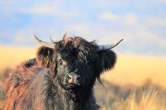 Schottisches Hochlandkalb auf Heidemoor lizenzfreie stockfotografie