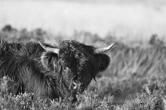 Schottisches Hochlandkalb auf Heidemoor stockfotografie