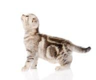 Schottisches Kätzchen, das im Profil steht und oben schaut Lokalisiert auf Weiß Lizenzfreie Stockbilder