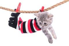 Schottisches Kätzchen der getigerten Katze stockfotografie