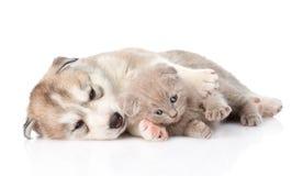 Schottisches Kätzchen und Welpe des sibirischen Huskys, der zusammen liegt Stockfotografie