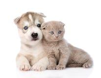 Schottisches Kätzchen und Welpe des sibirischen Huskys zusammen Getrennt Stockfotografie