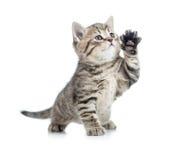 Schottisches Kätzchen der getigerten Katze gibt Tatze und oben schauen Lizenzfreie Stockfotografie