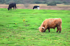 Schottland Angus Bulls und Kühe Stockbilder