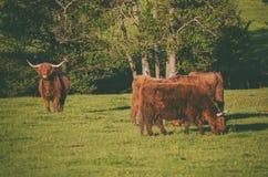 Schottland-Hochlandkühe Stockfoto