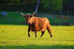 Schottland-Hochlandstier Stockbild