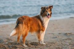 Schottland-Schäferhund Lizenzfreie Stockfotos
