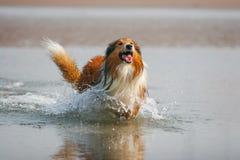 Schottland-Schäferhund Stockfoto