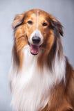 Schottland-Schäferhund Stockbild