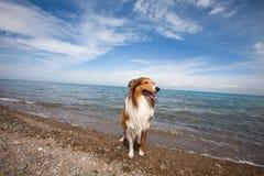 Schottland-Schäferhund Lizenzfreie Stockfotografie