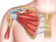 Schouderbeenderen en spieren Stock Afbeelding