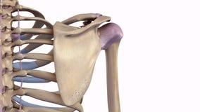Schouderblad met ligamenten vector illustratie