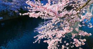 Schouwspel van kersenbloesems in de lente van Japan stock foto