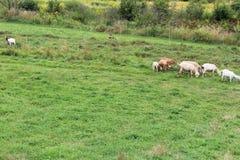 Schräger Abhang mit Schafen und Ziegen lizenzfreies stockfoto