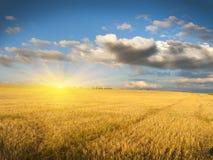 Schräges Feld des Weizens Stockfoto