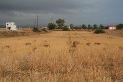 Schräges Feld des Weizens Stockfotografie