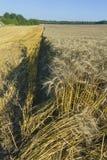 Schräges Feld des Weizens ernte Lizenzfreie Stockbilder