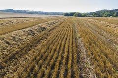 Schräges Feld des Weizens ernte Lizenzfreie Stockfotografie