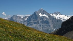 Schreckhorn and meadow full with yellow wildflowers Royalty Free Stock Photo