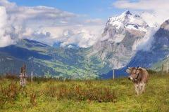 Schreckhorn, sikter och en schweizisk ko royaltyfri fotografi